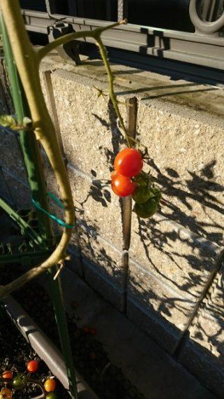 まだ正月になり続けるトマト