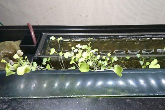 メダカ水槽に野菜をまく