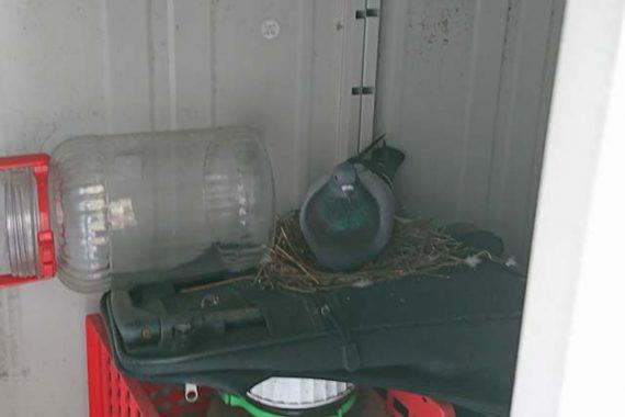 家に鳩が営巣してた