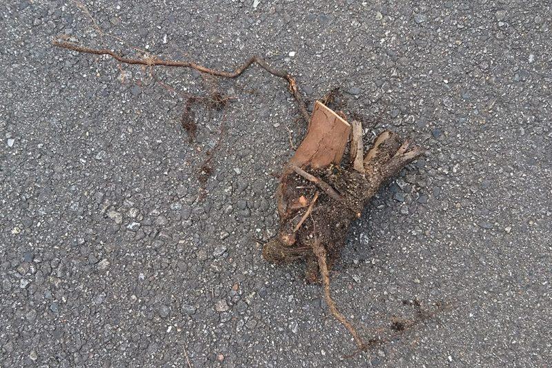 ユーカリの根は浅いからか、倒れやすい