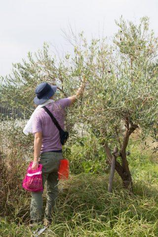 オリーブの実収穫