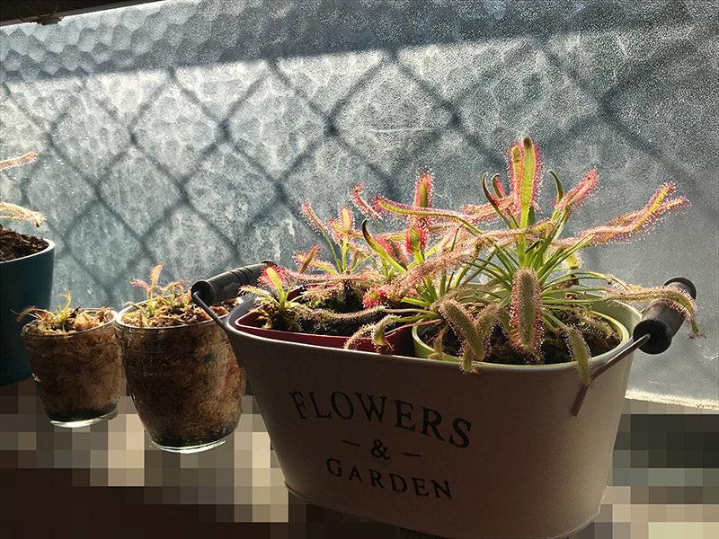 窓際をおしゃれに彩るモウセンゴケ