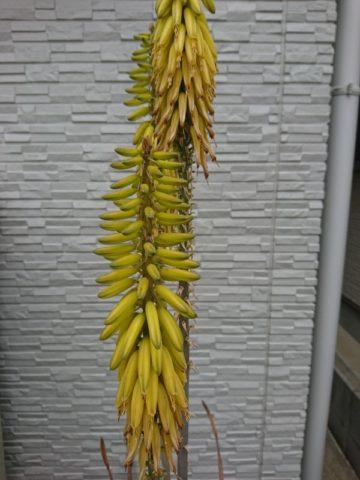 アロエベラの花